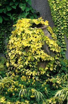 Hedra helix 'buttercup' an evergreen Ivy that grows 6' and fades from yellow to light green.