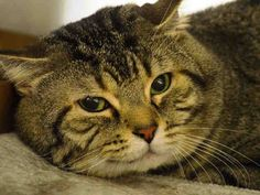 NYC ** Wonderful Boy's Person Died ** TO BE DESTROYED 03/14/15 RAMBO tolerates attention and petting but may be fearful in the shelter, and may be intimidated by small children. . ID #A1029466. Male blk tabby & gray about 5 YEARS old. OWNER DIED.  https://www.facebook.com/nycurgentcats/photos/a.971353359549318.1073742625.220724831278845/971353509549303/?type=3&theater