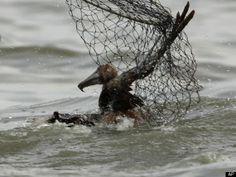06/ 7/10 12:45 AM ET  -Oil Spill Damage In Texas: Dead, Oiled Birds Found