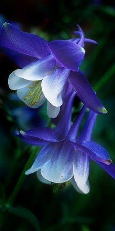 Colombine? Flower blue