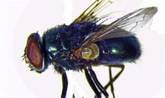 Team maps genome of black blow fly; may benefit human health, advance pest management  Check more at https://scifeeds.com/news/team-maps-genome-of-black-blow-fly-may-benefit-human-health-advance-pest-management/
