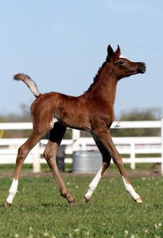 Egyptian Arabian foal.