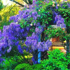 Purple or blue