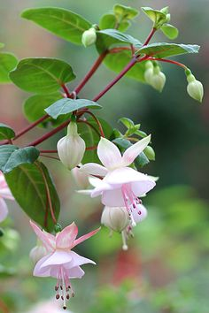 FUCHSIAS...seasonalwonderment:    ❀ ❋ ❁ Delightful ✾ ❁ ❃...like little Ballet dancers:):)
