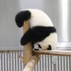 Cute Wild Animals, Cute Little Animals, Cute Funny Animals, Panda Funny, Cartoon Panda, Panda Love, Cute Panda, Panda Costumes, Panda Images