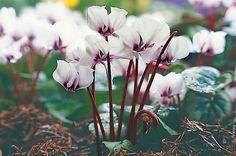 Top 10 Winter Bloomers For Your Flower Garden. birdsandblooms.com