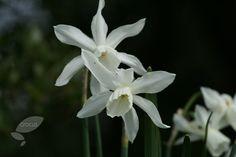 triandrus daffodil bulbs Narcissus 'Thalia'