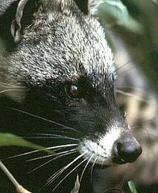 African civet - African civet - Wikipedia, the free encyclopedia