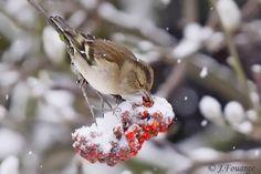 Pinson des arbres - Fringilla coelebs Common Chaffinch