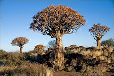 This photo from Karas, South is titled 'Quiver Tree Forest'. Weird Trees, Root System, And July, Weird Shapes, Wide World, Quiver, Big Tree, Tree Forest, How To Level Ground
