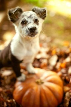 If you think this little guy is adorable, your heart will MELT when you see these 18 other puppies with pumpkins: http://cntry.lv/6184BMrBy