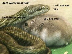 Own a snake! -I guess the hamster was supposed to be food for the snake but instead they became friends and still live together in the same heated cage. I'm not really sure how this would work but it's CUTE. Cute Animal Memes, Animal Jokes, Cute Funny Animals, Funny Animal Pictures, Funny Cute, Unusual Animal Friendships, Unusual Animals, Yorkie, Le Husky