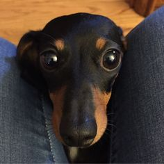 I finally have my own dachshund!