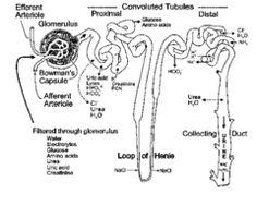 Hemoglobin electrophoresis at alkaline pH patterns