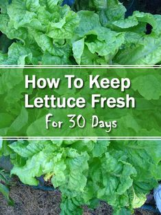 I know, I know when you have plenty of it in your garden, preserving it is the last thing on your mind. However, just like how to make fresh herbs last longer Fruit And Veg, Fruits And Veggies, Fresh Vegetables, Cooking Tips, Cooking Recipes, Healthy Recipes, Storing Lettuce, Fresco, Lettuce Recipes