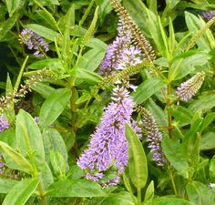 Buy Hebe Midsummer Beauty online from Jacksons Nurseries Side Borders, Evergreen Shrubs, Nurseries, About Uk, Veronica, Beauty Online, Vibrant, Island, Garden