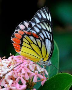 Jezebel Butterfly. Aww. It's like it is losing it's colors. D: Beautiful!