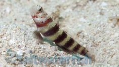 Bumblebee Goby Saltwater Fish Gobies In 2020 Fish Goby Fish Bumble Bee