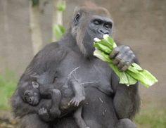 Gorilla eating GIF