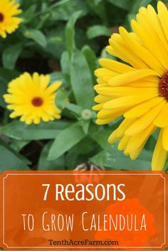 Calendula flowers can benefit soil, repel pests, and aid healing. Here are some…