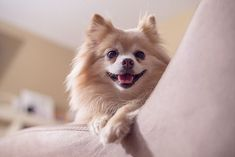 Is Your Pomeranian Driving You Crazy? One Unusual Trick STOPS Your Pomeranian Jumping Up! - pomeranian #pomeranian #dog #doglovers #dogs #dogsofinstagram