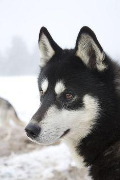 Wonderful All About The Siberian Husky Ideas. Prodigious All About The Siberian Husky Ideas. Alaskan Husky, Siberian Husky Dog, Alaskan Malamute, Husky Malamute, Husky Puppy, Most Beautiful Dogs, Animals Beautiful, Cute Animals, Baby Dogs