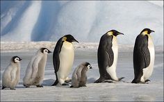 http://www.thesun.co.uk/sol/homepage/news/2177877/Emperor-penguin-threat.html