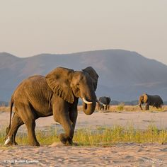 """Elephants bathed in golden light on the """"beach"""" of a low Zambezi river in Mana Pools."""
