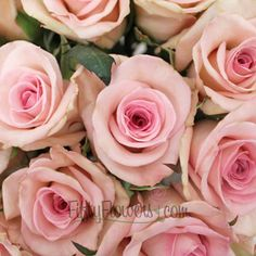 Sophie Light Pink Rose | FiftyFlowers.com
