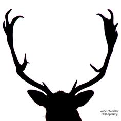 Black and white close up photograph of the head and antlers of a male deer silhouette, by Jane Mucklow. Knole Park, Sevenoaks, Kent Available as a greetings card and print. Male Deer, Deer Silhouette, Business Headshots, Antlers, Flower Prints, Greeting Cards, Black And White, Landscape, Park