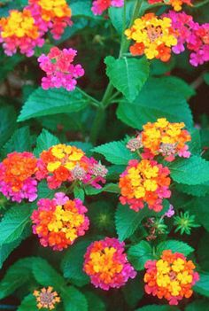 Lantana....butterflies love this plant and it grows so well in hot weather!