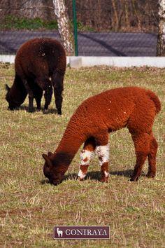 Heeeey, look at my socks! :D #coniraya #alpacas #alpakino #alpaca
