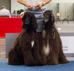 Father and son Afghan Hound, Father And Son, Afghans, Dog Grooming, Best Dogs, Fur Coat, Dogs, Pet Dogs, Crochet Blankets