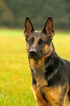 Deutscher Schaeferhund   Einzigartige Andenken unserer Lieblinge! Hier noch ein Tip: http://besteversicherungenonline.de/hundever
