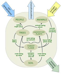 Now let's add the animals and the people components to our ecosystem. You can see in Figure 3 below that energy & nutrients flow from the trees and understory plants to the animals when they eat the leaves, twigs and buds of trees or graze on understory plants; and when the animal excrete waste products or die, energy & nutrients are returned to the forest floor component. Since people are really just a special kind of animal, you can see that energy & nutrients flow from the trees to people…