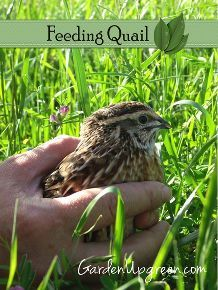 raising quail in your garden, gardening, homesteading, pets animals