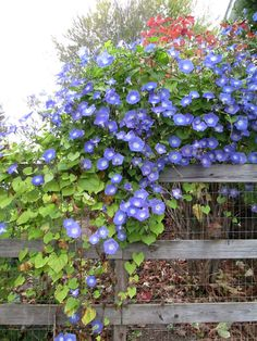 Attracting birds, butterflies and bees to your garden or landscape not only adds ambiance, but also helps our environment. Morning Glory Plant, Blue Morning Glory, Morning Glories, Plant Markers, How To Attract Birds, Formal Gardens, Easy Garden, Garden Planters, Garden Projects