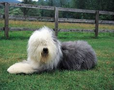 The Old English Sheepdog was developed in 19th-century Britain for herding sheep.  It is good with children, easygoing, & comfortable in an urban environment, although it does bark loudly at strangers.  In fact, the Old English is so affectionate that most training must be directed to limiting its demands for attention.  The Old English does not tolerate heat well & requires regular grooming.