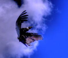 El cóndor andino, cóndor de los Andes o simplemente cóndor es una especie de ave de la familia Cathartidae que habita en Sudamérica.