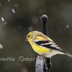Yellow Finch braving a springtime snow in Michigan.