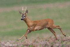 Roe Deer - on-line wildlife and nature pictures for publication, favourable Royalty-free licence, quantity discount Deer Photos, Deer Pictures, Corzo Animal, Animals And Pets, Cute Animals, Deer Species, Deer Running, Big Lake, Roe Deer