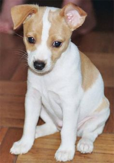 rat terrier puppy, i love them. the end.