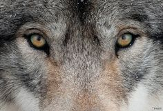 The gaze of the wolf reaches into our soul. The world's largest wild canid, the iconic grey wolf (Canis lupus) has been a source of both. Wolf Images, Wolf Pictures, Animal Pictures, Wolf Love, Beautiful Wolves, Animals Beautiful, Beautiful Eyes, What Animal Are You, Wolf Eyes