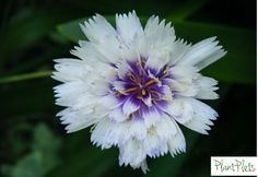 Catananche. These are papery like flowers held up on very thin wiry stems. You only want to see the flower, so they need planting in-between other plants, make sure these plants aren't big or dense plants as the catananche won't be able to 'do it's thing'. Plant in really sunny soils then enjoy them. These are used in our Fab Fronts for Sun design no'2 http://plantplots.com/product-category/products/
