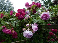 Laguna und Jasmina (Kletterrosen) - Rosen und mehr - Mein schöner Garten online