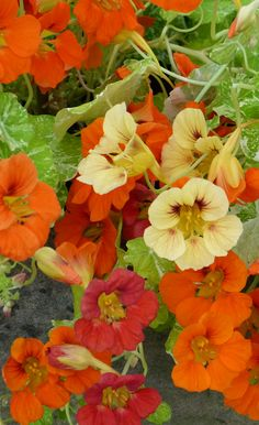 Nasturtium Tropaeolum Majus Alaska. A mix of nasturtium colours, from yellow and orange to a deeper red. It has lovely variegated foliage and the flowers are edible too!