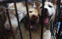"""China's Barbaric Dog Meat """"Festival"""" Will Go On Despite Growing Protests - International campaign to stop the killing keeps growing. Millions in Canada, the U.K. & US have signed petitions calling for China to end festival, which starts June 21."""