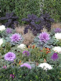 Edible Landscapes. Kale (the tall purple trees) as well as ornamental varieties in the foreground
