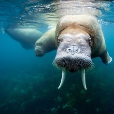 "Gorgeous image of walruses in their real natural element, as run by UK's The Telegraph newspaper: ""American wildlife photographer Paul Souders went on a three week-long sea expedition off one of the world's most remote and northern islands - Spitzbergen, in the Svalbard archipelago, Norway - to photograph walruses. Picture: PAUL SOUDERS / BARCROFT MEDIA""    Reported in the UK Telegraph newspaper, http://www.telegraph.co.uk/earth/earthpicturegalleries/8550060/"
