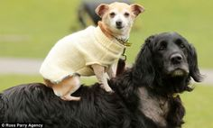 Puppy love: Biddy the chihuahua cross rides on the back of Bodie the spaniel cross while wearing a knitted dog jacket Dogs' Trust were looking for a home that would take these two best friends ... and they found one! Biddy and Bodie went home with Janice and John at the end of February.